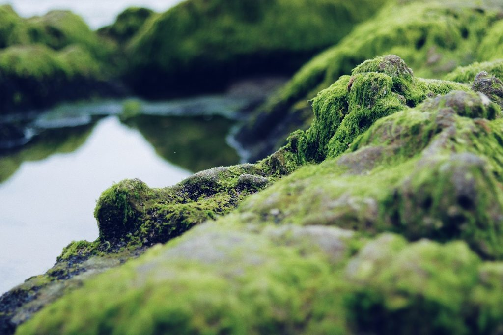 Green algae on rocks at a lake. Algae extract oxygen from the water.