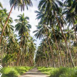 Palmbomen op de Solomon eilanden die de meest fair trade kokosolie produceren