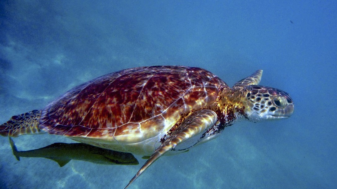 Sea turtle breeding beaches are flooded by rising sea levels caused by global warming