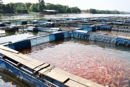 le saumon sauvage dans votre assiette dans un restaurant est mieux que le poisson d'élevage