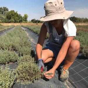 Récolte du thym blanc, sal verde